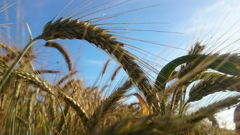 Rynek zbóż w kraju (21.01.2018)