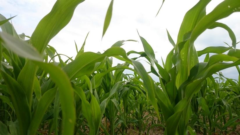 Notowania zbóż i oleistych. Unijne kontrakty zamknęły tydzień sporymi spadkami (07.04.2017)