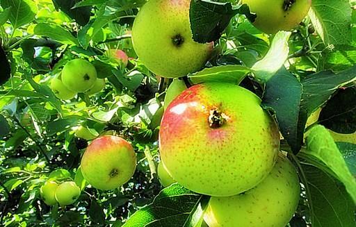 Zapasy i ceny jabłek w Polsce