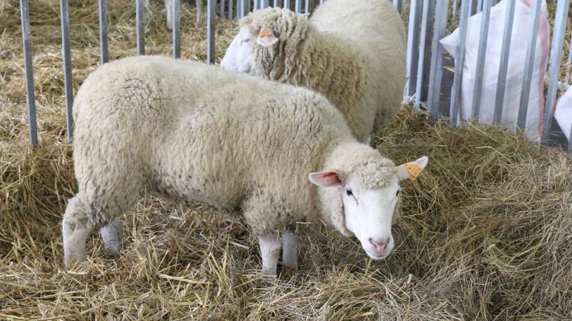 Ceny polskich owiec