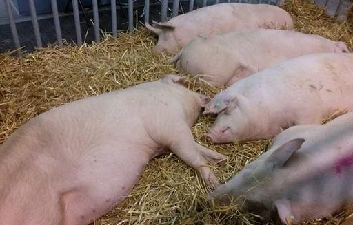 Ceny skupu świń rzeźnych (24.09.2017)