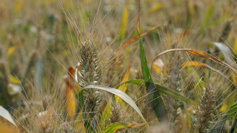 Rynek zbóż w kraju (15.07.2018)