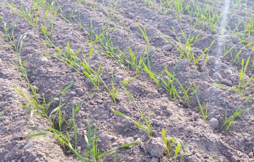 Podsumowanie tygodnia na giełdowym rynku zbóż (27.02-3.03.2017)
