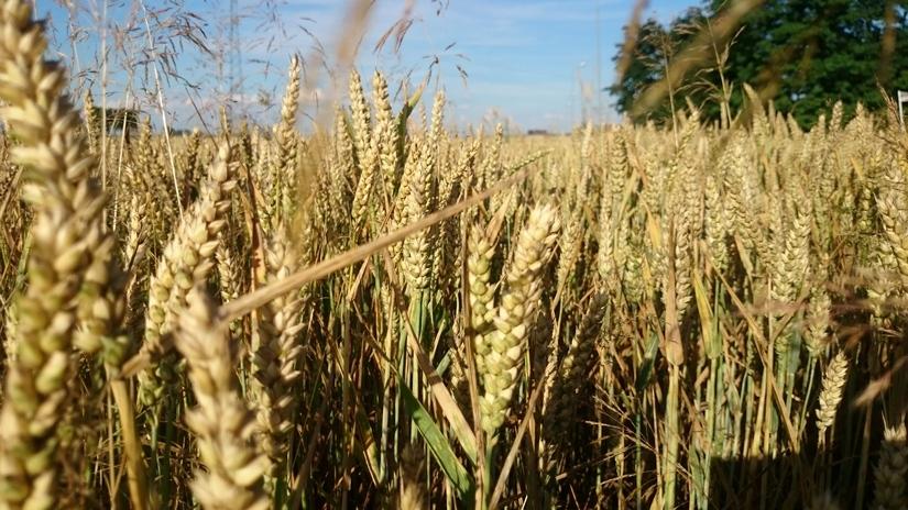 Wzrosty giełdowych notowań pszenicy