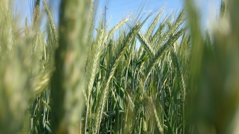 Ceny zbóż na giełdach towarowych (9.08.2020)