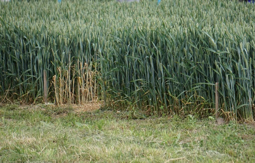 Notowania zbóż i oleistych. Obawy pogodowe wsparły pszenicę w USA (6.03.2017)