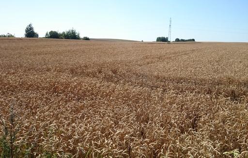 Rynek zbóż w kraju (16.09.2018)