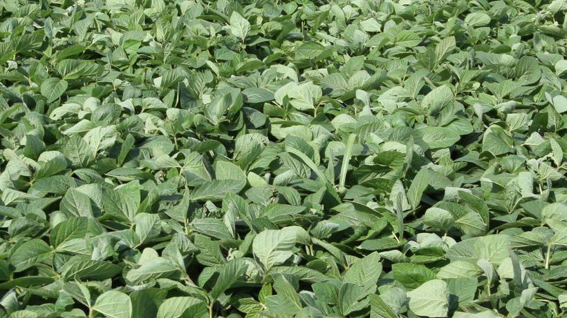 Tydzień zaczyna się od kontynuacji przecen na giełdowym rynku zbóż i oleistych