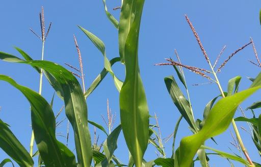Początek maja przyniósł wzrost cen skupu żyta, kukurydzy i owsa