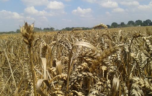 Rynek zbóż w kraju (27.08.2017)