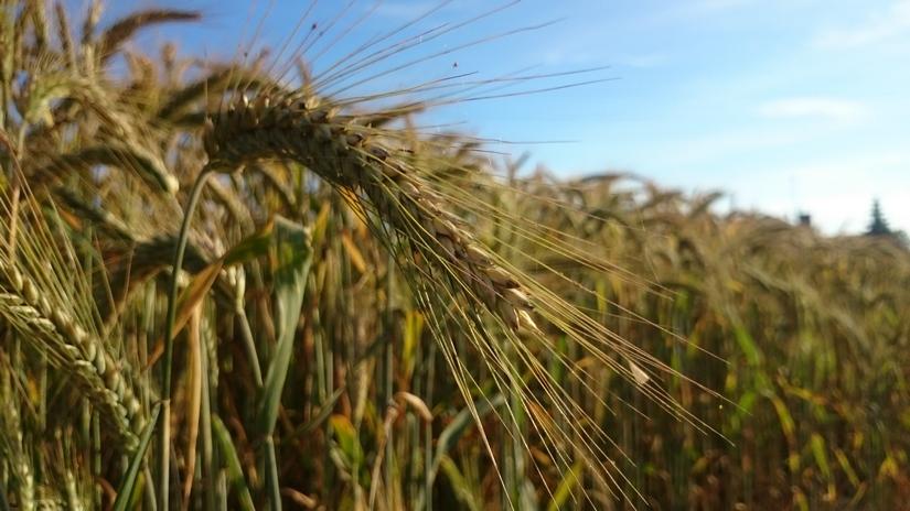 Żniwa 2016. Na ceny zbóż w Polsce wpływa sytuacja na rynku międzynarodowym