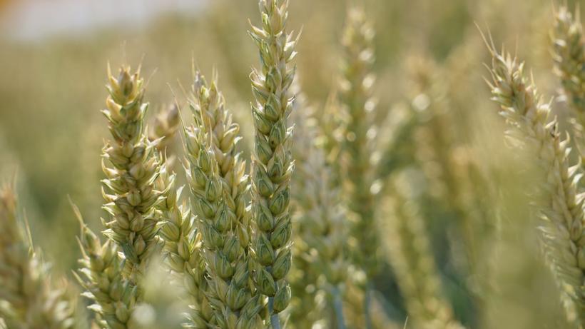 Notowania zbóż i oleistych. Amerykańska twarda pszenica jara bije kolejne rekordy cenowe (28.06.2017)