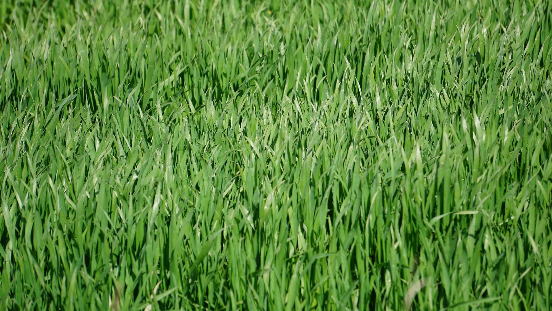 Notowania zbóż i oleistych. Unijne kontrakty na zboża i rzepak zamknęły tydzień spadkami (4.11.2016)