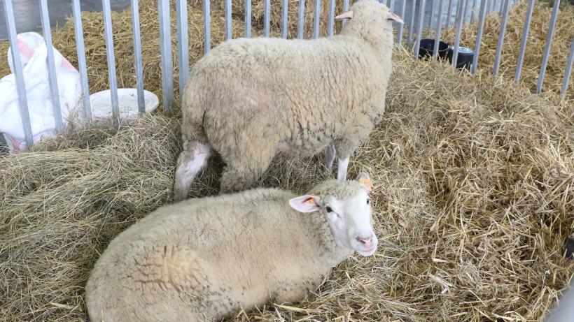 Rośnie cena owiec