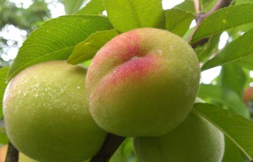 Brzoskwinia (Prunus persica)