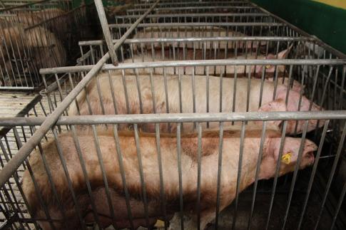 Ceny skupu świń rzeźnych (26.11.2017)