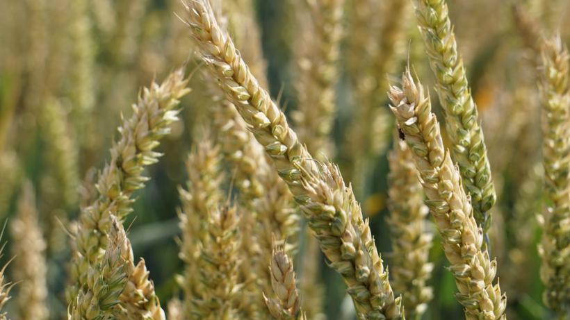 Ceny zbóż na giełdach towarowych (22.10.2017)