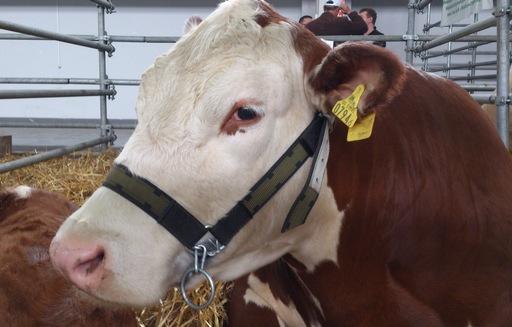 D. Pasińska: Utrzymuje się regionalne zróżnicowanie cen zakupu bydła