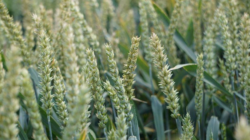 Rynek zbóż w kraju (3.09.2017)