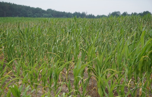 Notowania zbóż i oleistych. Spadkowy tydzień dla zbóż i soi (2.12.2016)
