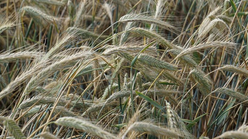Ceny zbóż na giełdach towarowych (14.02.2021)