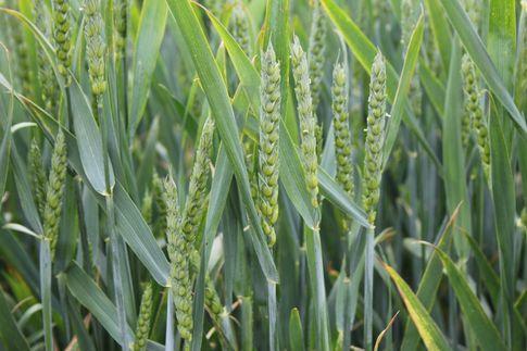 Notowania zbóż i oleistych. Pszenica traciła na wartości na dzień przed publikacją miesięcznej prognozy USDA (9.05.2017)