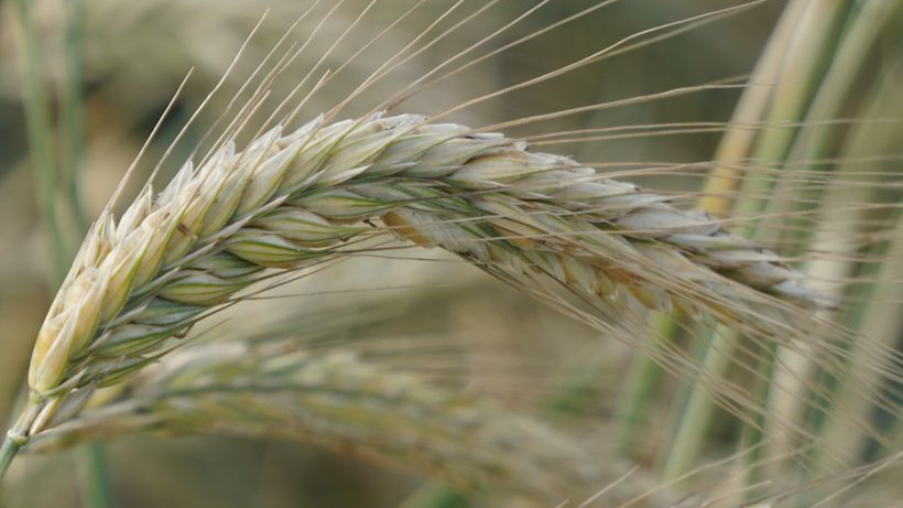Ceny zbóż na giełdach towarowych (24.02.2019)