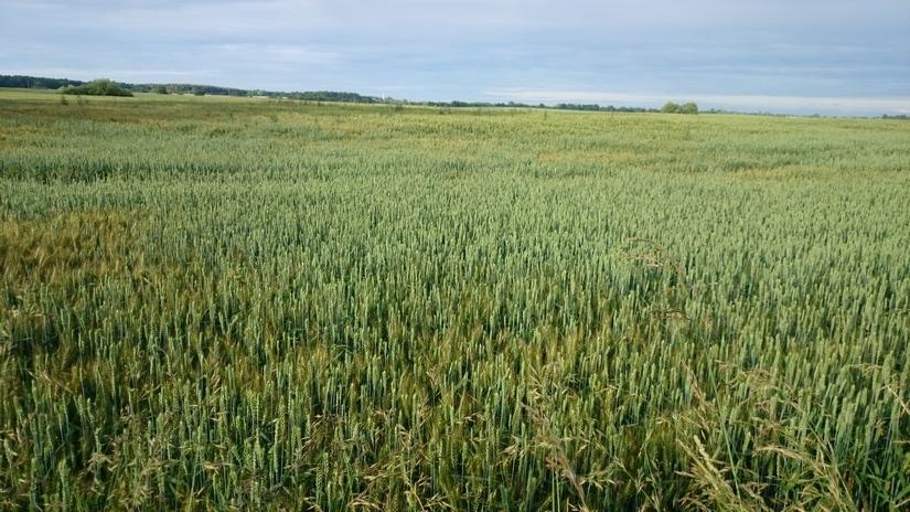 Obawy pogodowe spowodowały 4% wzrost notowań pszenicy w Chicago