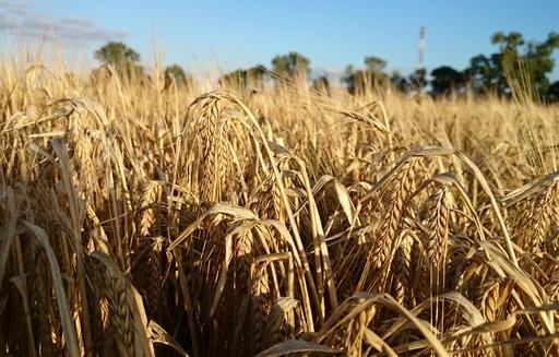 Ceny zbóż w skupie. Wzrostowy początek czerwca