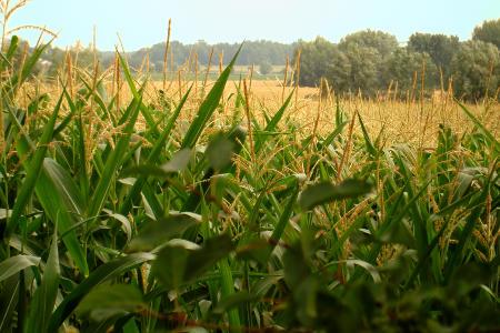 Ceny zbóż w Polsce. Drożeje pszenica konsumpcyjna i kukurydza