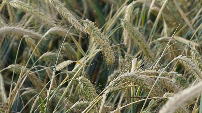 Notowania zbóż i oleistych. Amerykańska pszenica i unijne zboża straciły na wartości (3.10.2016)