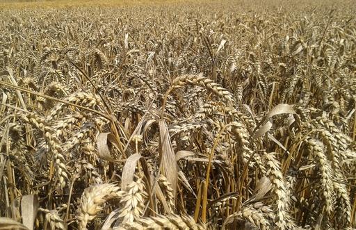 Notowania zbóż i oleistych. Tylko pszenica na Matif wyłamała się ze spadkowego trendu (25.08.2016)