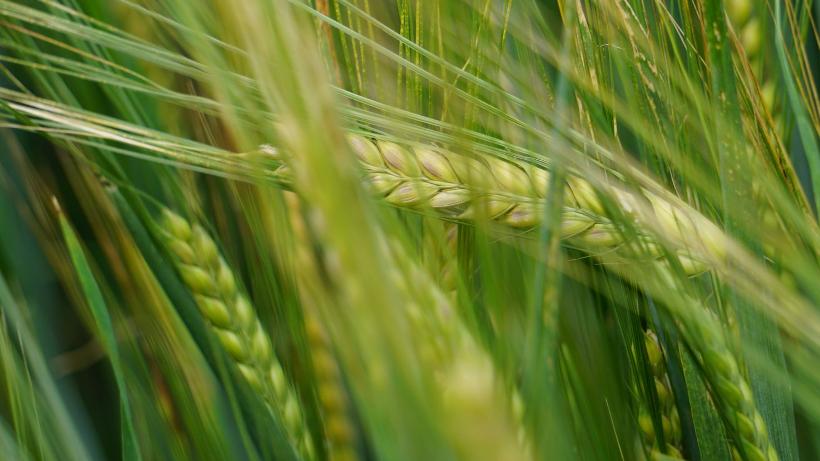 Ceny zbóż na giełdach towarowych (26.05.2019)