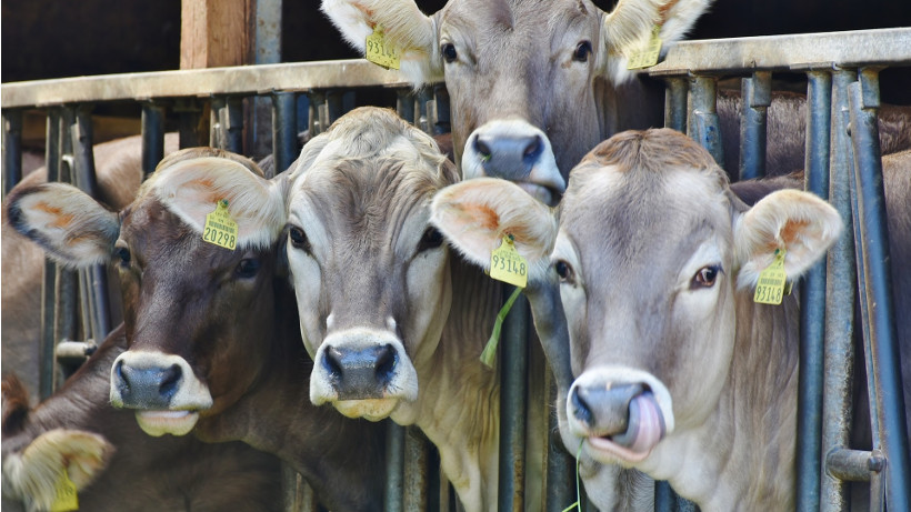 Wzrost produkcji polskiej wołowiny