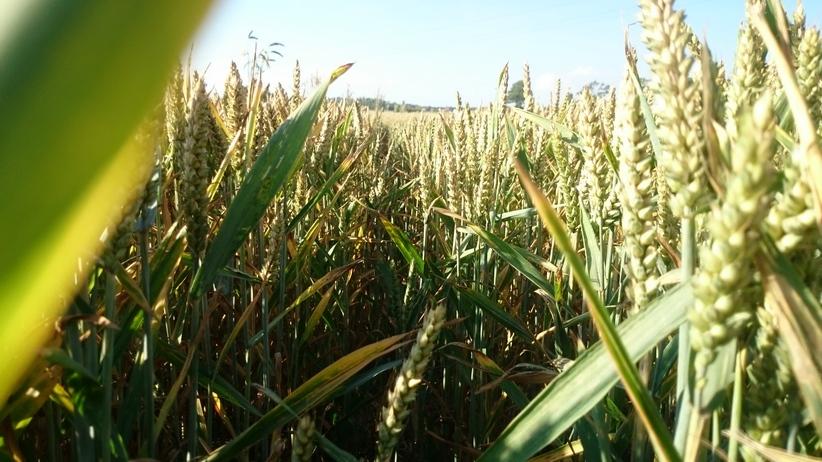 Ceny zbóż na giełdach towarowych (23.07.2017)