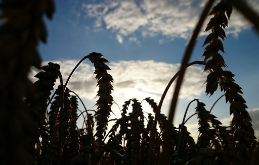 Ceny większości zbóż znów spadają. Pszenica paszowa poniżej 580 zł/t