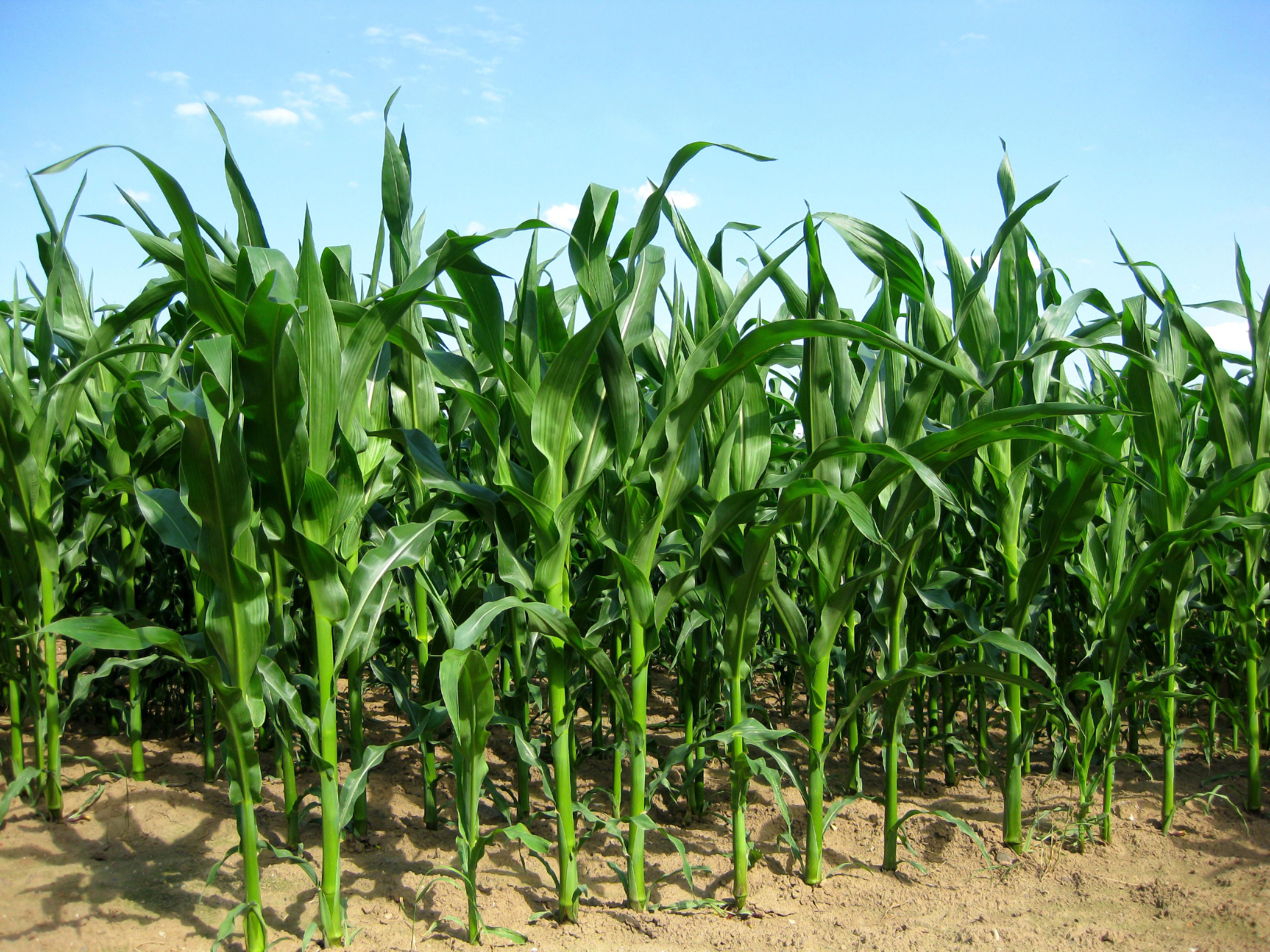 Ceny zbóż w Polsce na tle innych krajów UE. Polska kukurydza poniżej unijnej średniej