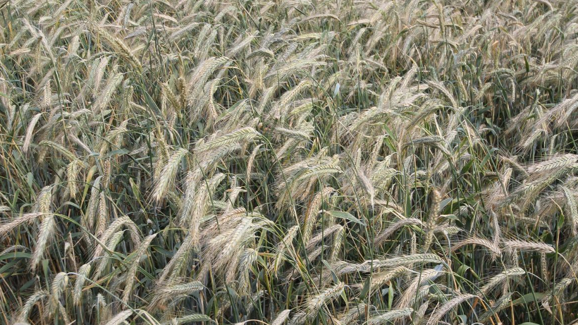 Ceny zbóż (07.02.2021)