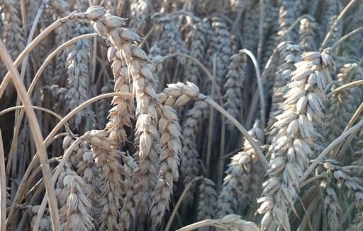 Spory spadek notowań unijnych zbóż