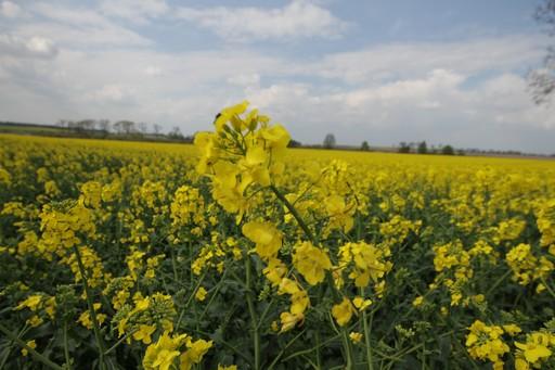 Notowania zbóż i oleistych. Rzepak najdroższy od ponad roku (14.10.2016)