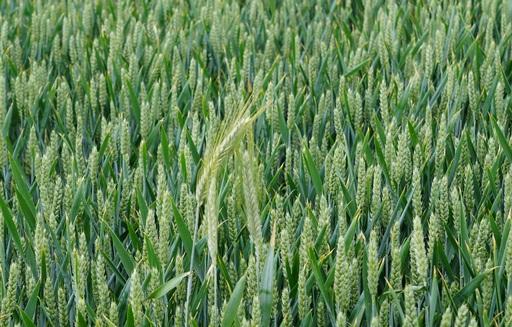 Rynek zbóż w kraju (16.05.2021)