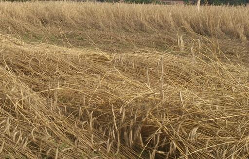Podsumowanie tygodnia na giełdowym rynku zbóż (29.08-2.09.2016)