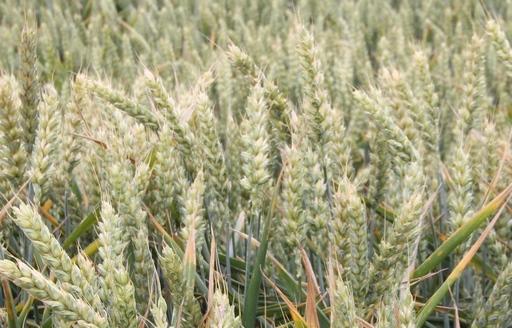 Prognozy cen pszenicy i żyta w czerwcu i we wrześniu 2017 r.