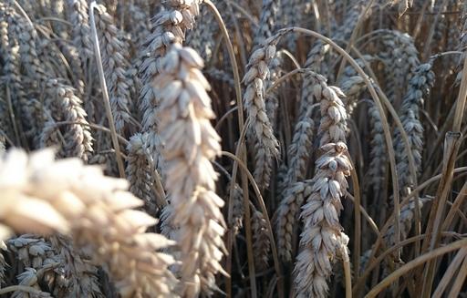 Rynek zbóż w kraju (10.01.2021)