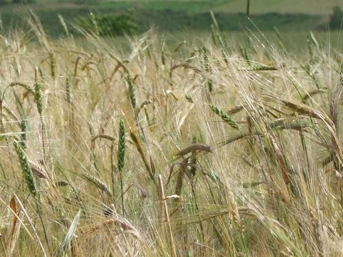 Ceny zbóż na giełdach towarowych (31.05.2020)