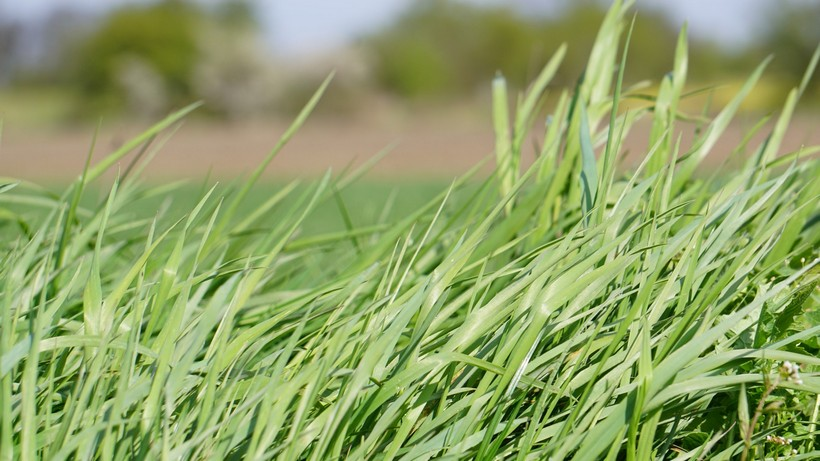 Notowania zbóż i oleistych.  W Chicago mocno wzrosły notowania pszenicy (10.10.2016)
