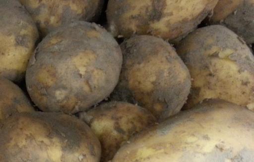 Wzrost areału i zbiorów ziemniaków w UE