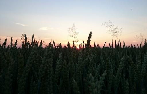 Notowania zbóż i oleistych. Wrześniowy kontrakt na pszenicę na Euronext najniżej w historii (7.09.2016)