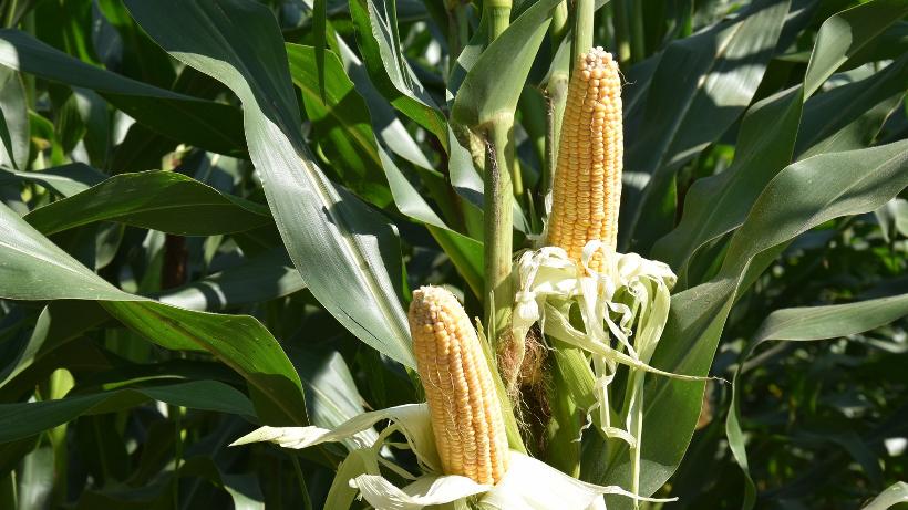 Notowania zbóż i oleistych. Amerykańskie kontrakty na zboża traciły na wartości (7.11.2016)