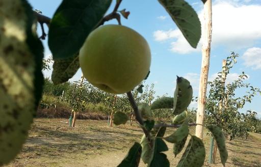 Ceny jabłek i gruszek w Polsce (28.02.2017)